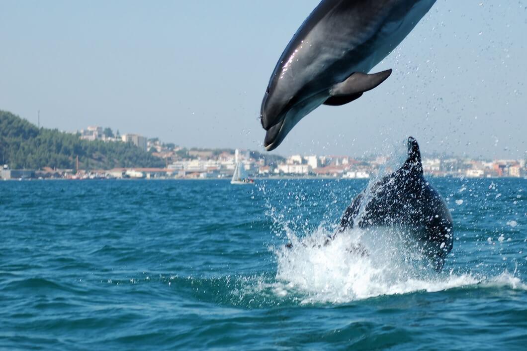 ויש גם דולפינים! סטובל, פורטוגל.